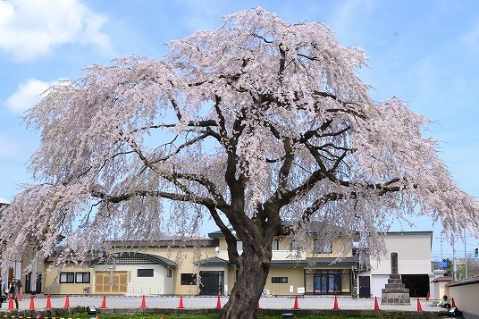 北斗市 桜回廊