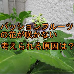 サムネ パッションフルーツの花 咲かない